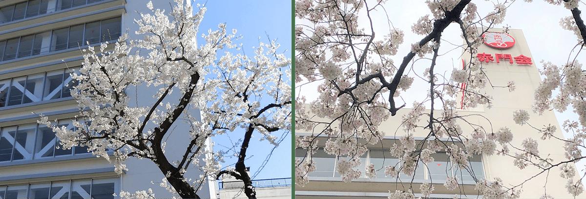 日暮里の魅力4 春の桜